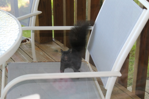mackinac island, black squirrel